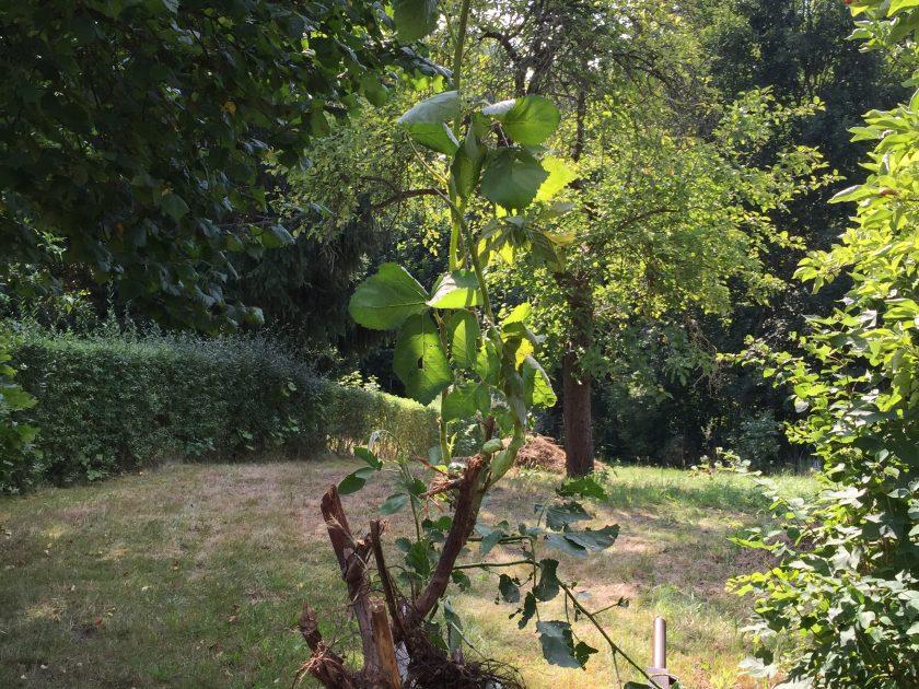 Brombeerpflanze