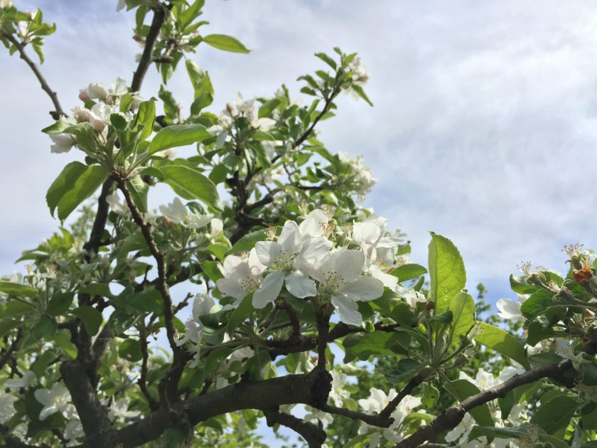 Blüten eines Apfelbaums